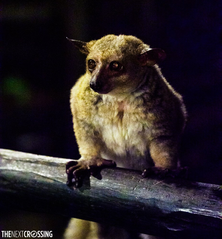 Bush baby seen at night with his amber glowing eyes