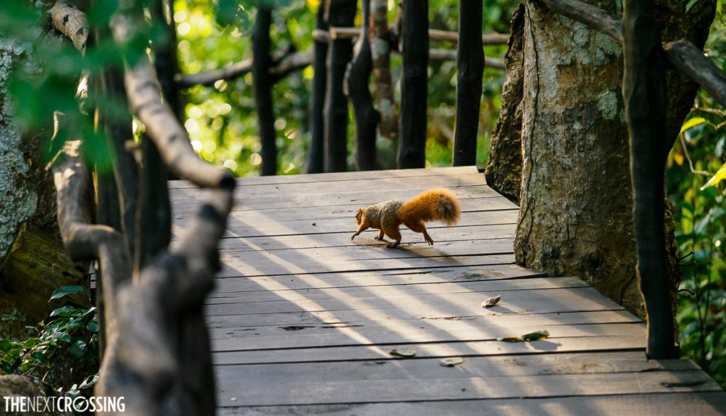 a red squirrel running across a wooden deck