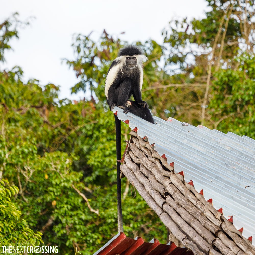 Colobus monkey on a hot tin roof