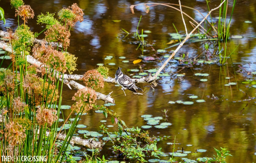Pied kingfisher over a pond of waterlilies
