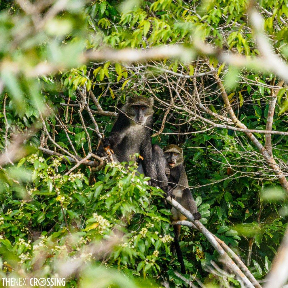 Sykes' monkeys hiding among the dense treetop vegetation