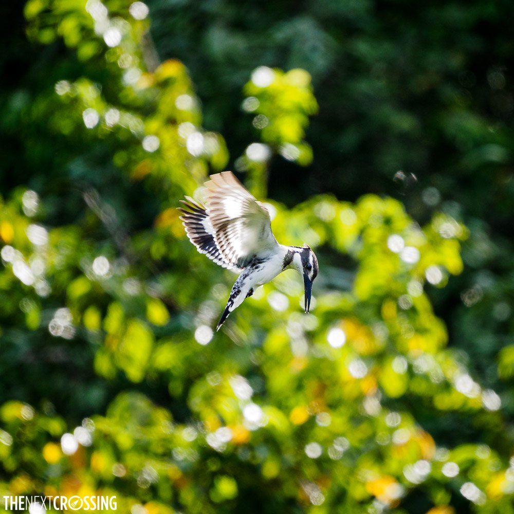 A Pied kingfisher about to dive