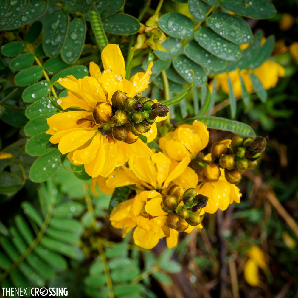 yellow succulent flowers in maasai land