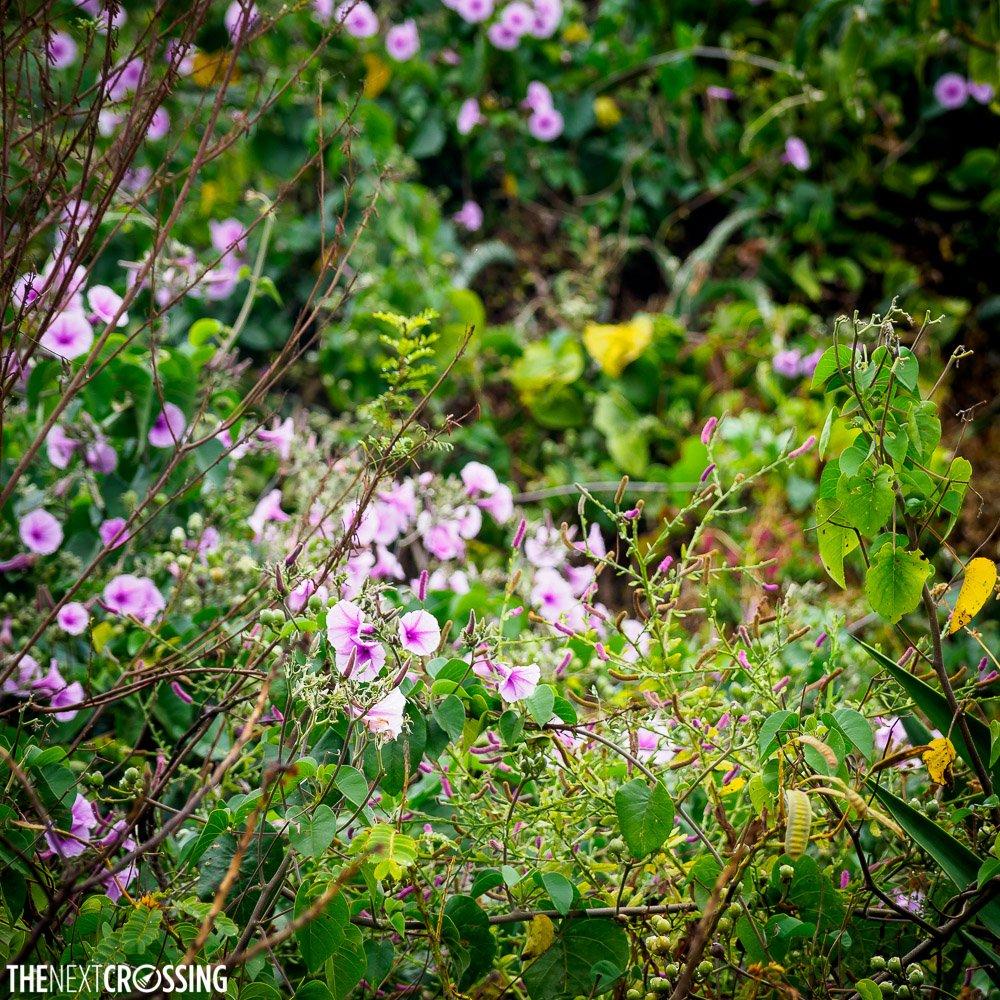 small purple nightshade like flowers