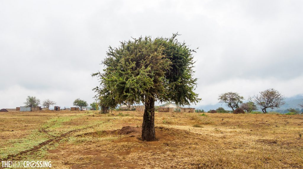 Maasai village of enkutoto behind an acacia tree, golden grass in the foreground