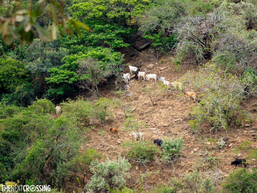 goats grazing on a slope in Maasai land in Loita HIlls