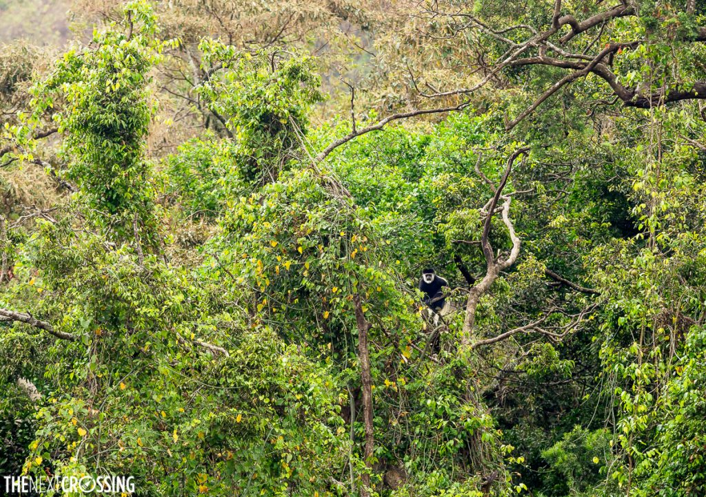 A colobus monkey half hidden in the green vegetation along the banks of the entasopia hiking in loita hills