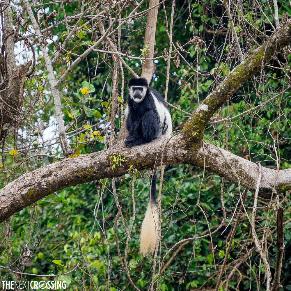 A colobus monkey in his tree