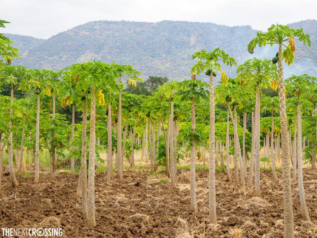 Papaya plantation in the Maasai village of Kajiado