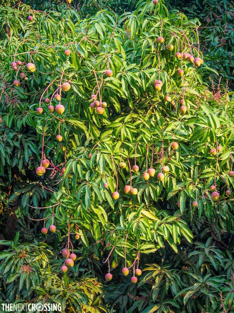 Small, hard and unripe mangoes on a mango tree