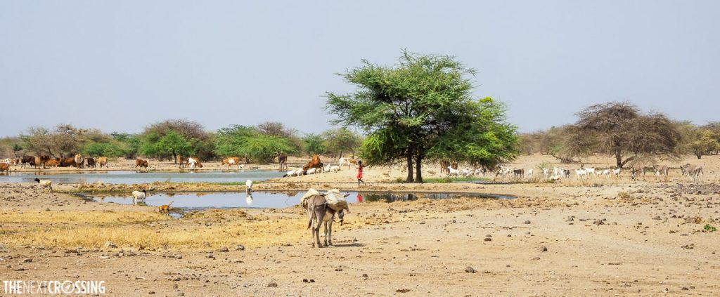 watering hole in loita hills surrounded with farm anima;s