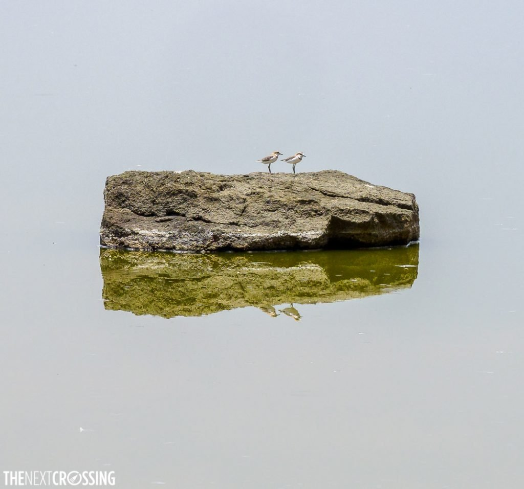 Two plovers on a rock rising out of the water