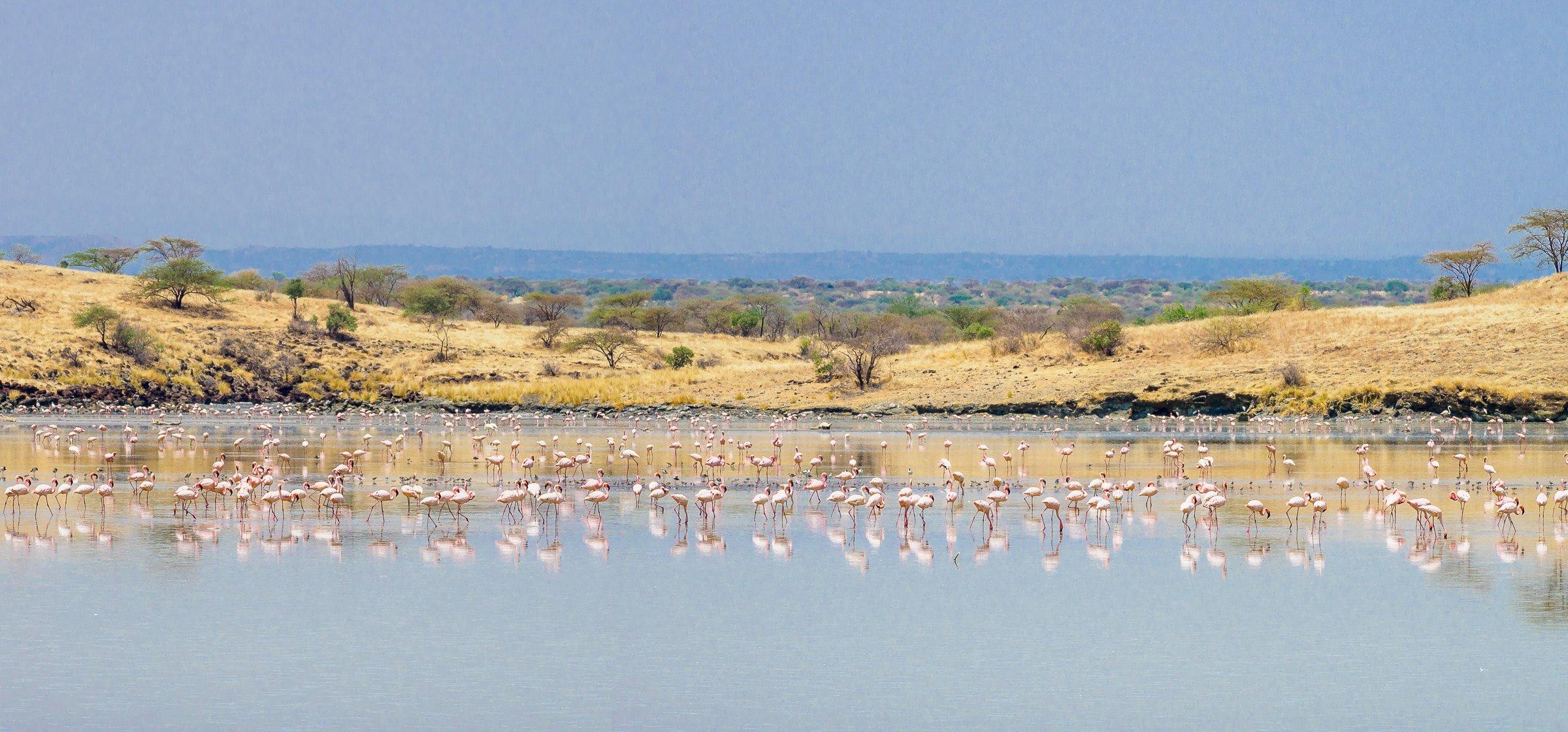flamingoes reflected on a flooded plain near lake magadi