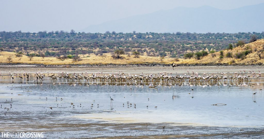 a great collection of wading birds, including flamingoes along the overflow of lake magadi