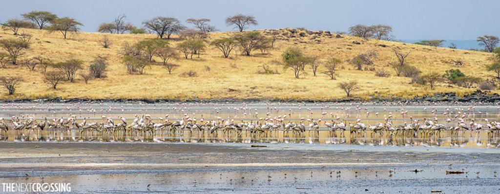 hundreds of flamingoes and white storks feeding on a flooded lake magadi