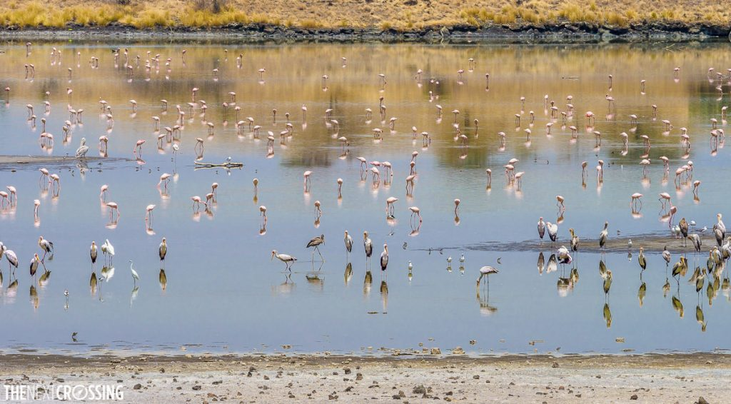 wading birds, flamingoes, herons and pelicans look for food in the lake magadi overflow