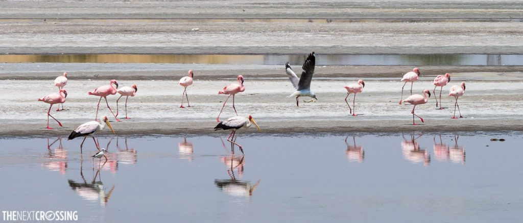 flamingoes and other wading birds in the temporary flood area of magadi lake