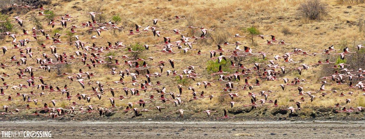 A flamboyance of lesser flamingoes, flying over lake magadi