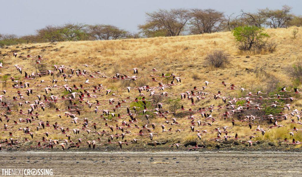 A large flock of lesser flamingoes taking flight over lake magadi