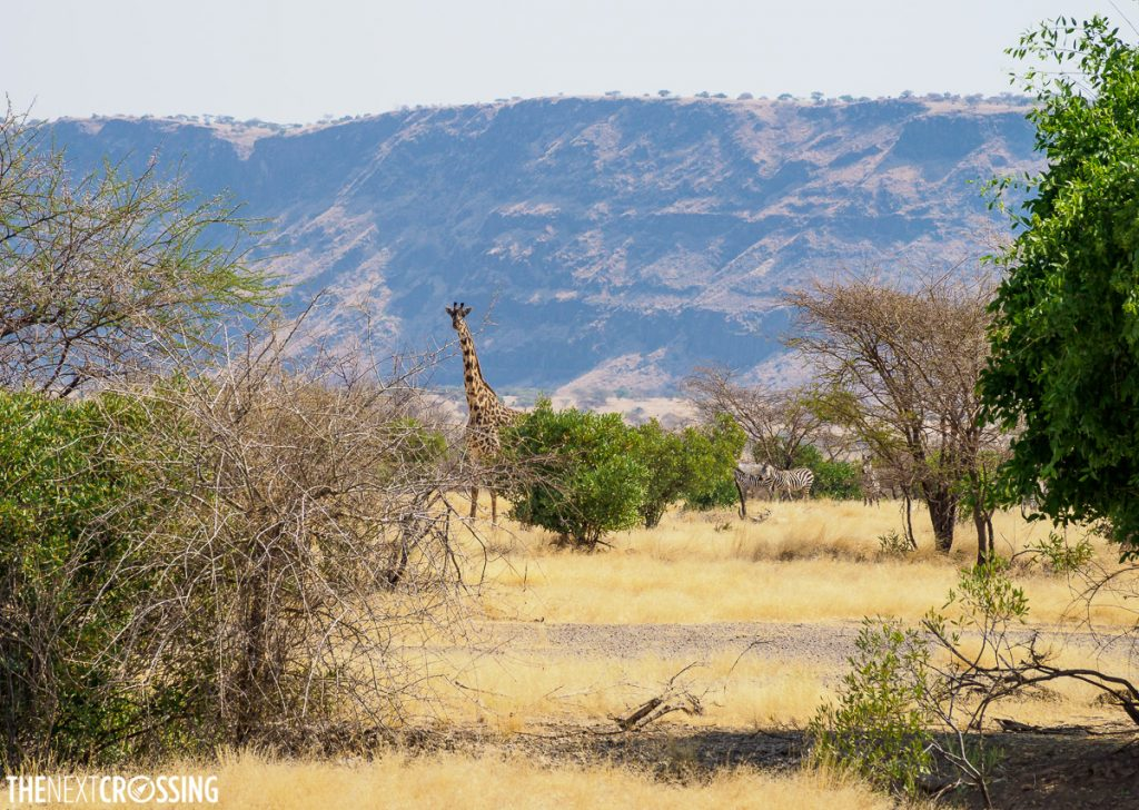 giraffe spotted behind some low acacia trees