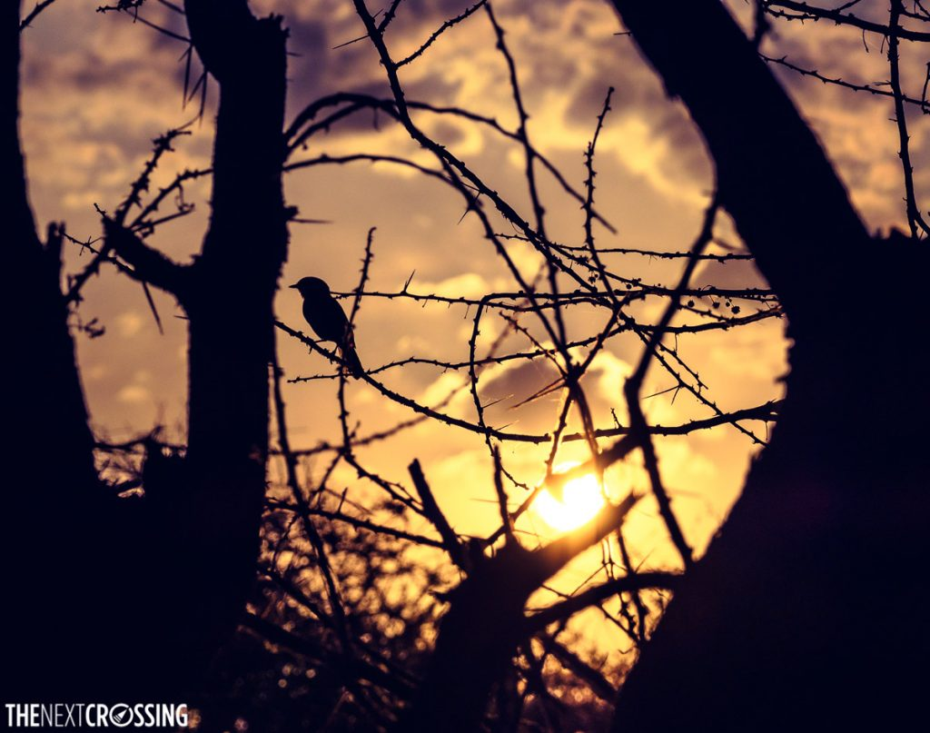 A small bird, silhouetted against the african sunset, perched on thorny acacia branches