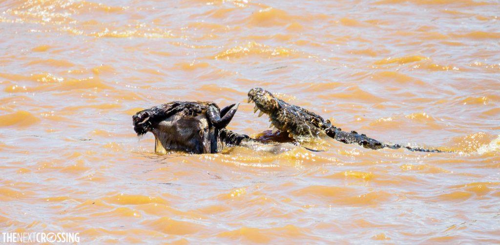 A crocodile prepares to bite a wildebeest crossing the Mara River